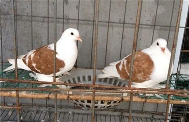 鸽子产下软壳蛋的原因及防治方法