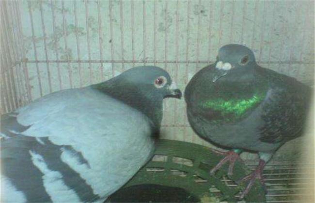 鸽子啄羽的原因及防治方法