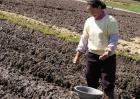蚕豆的高产施肥技术