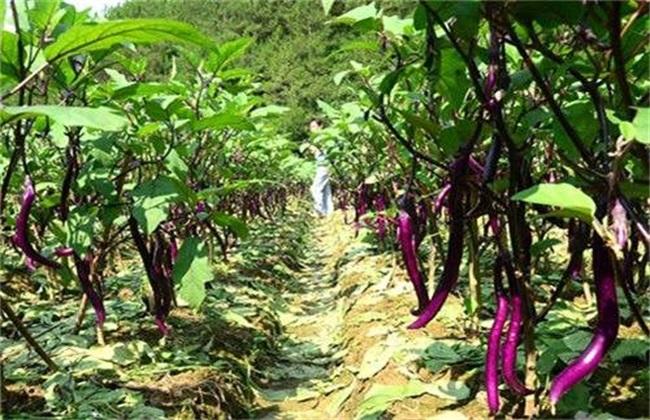 田间管理 茄子 种植