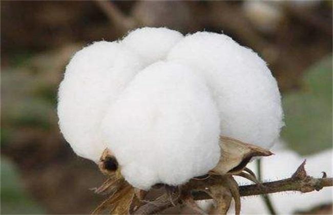 棉花 管理方法 秋季