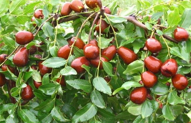 枣树干腐病的症状及防治