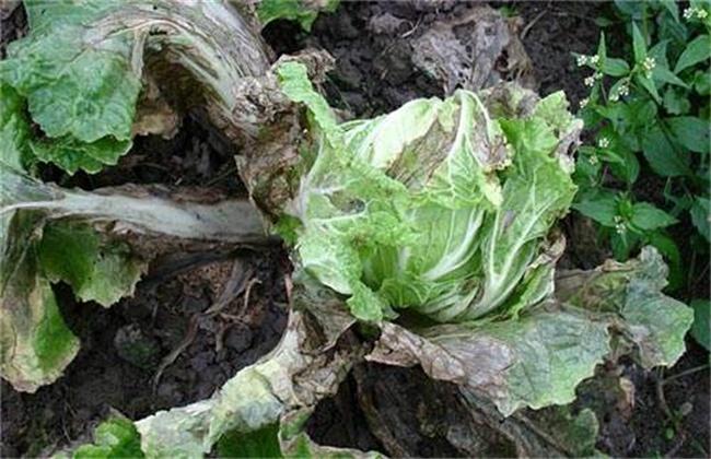 生菜病蟲害的防治方法