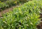 种植茼蒿的具体流程