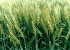 水稻根部缺氧的原因及防治