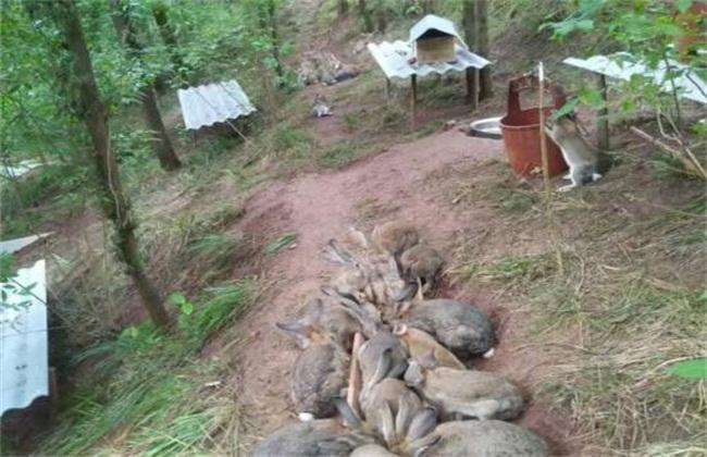 野兔养殖技术