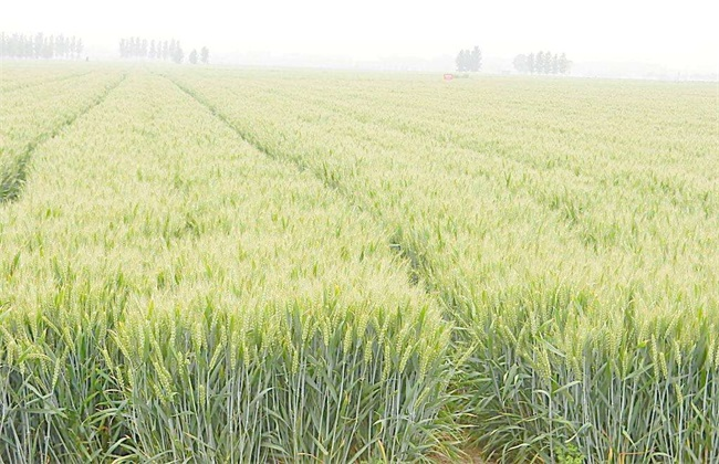 种植小麦 优点 深耕