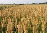 种植小麦深耕的优点