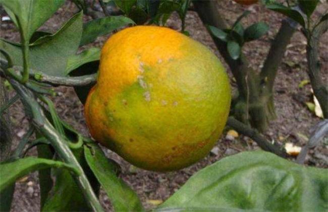 脐橙常见病虫害的防治方法