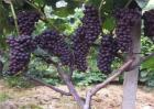 葡萄裂果的防治方法