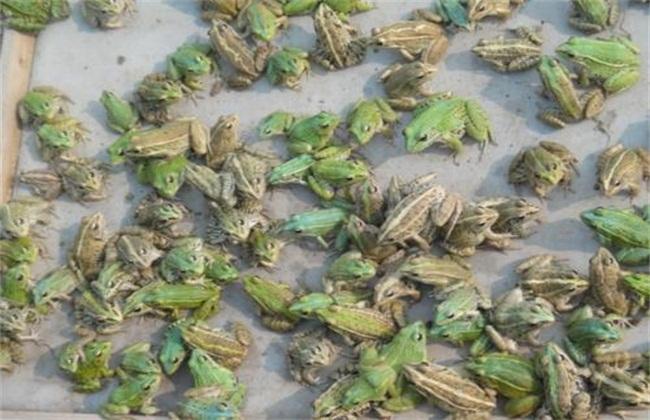 青蛙养殖技术及场地建造