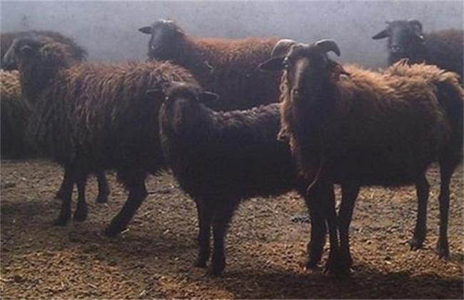 乌骨山羊养殖