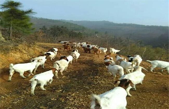 秋季山羊的管理要点