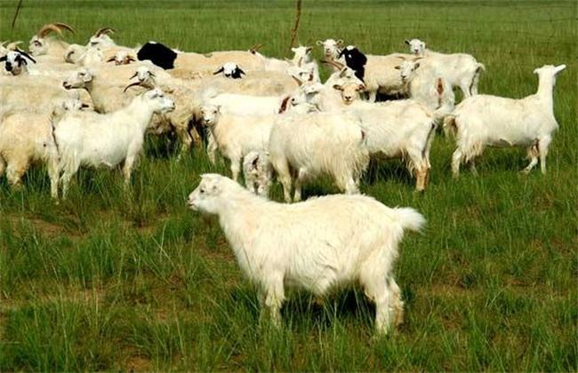 山羊 管理要点 秋季