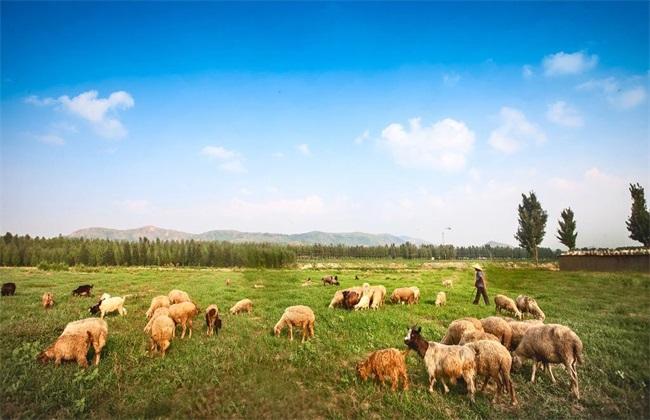 山羊放牧时的注意事项