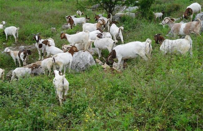 山羊 注意事项 放牧