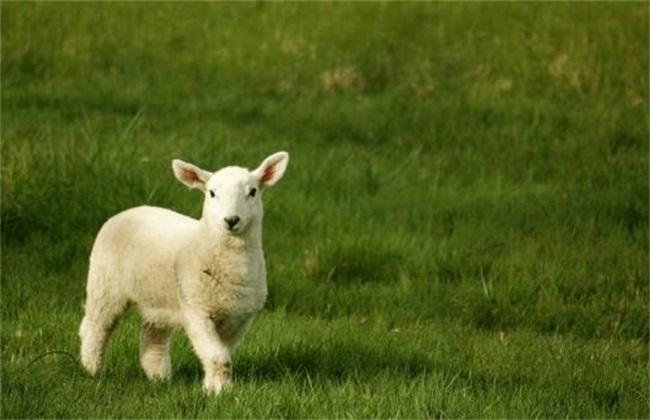 羔羊的管理要点