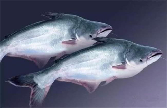 巴沙鱼 饲养管理 方法