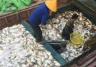 鲳鱼常见病害的防治方法