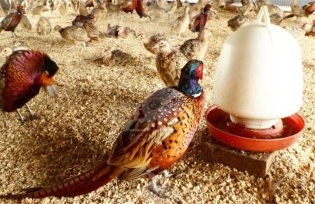 野鸡养殖的注意事项