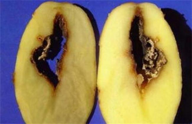 马铃薯空心的原因及防治方法