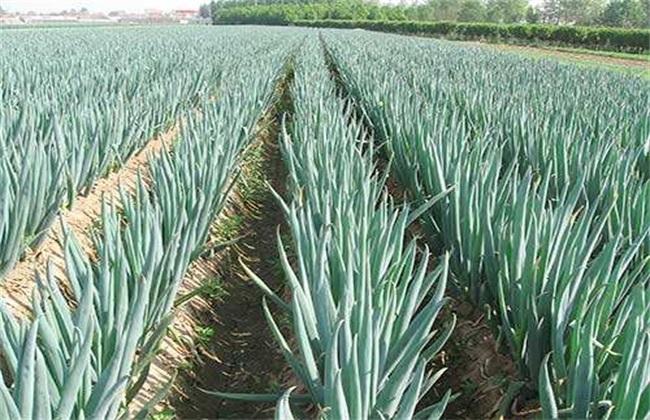 种植大葱对环境的要求