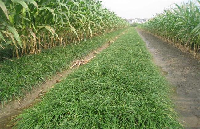 麦冬种植需要注意什么