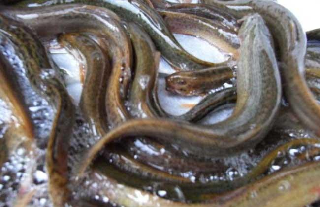 提高成活率 泥鳅 方法