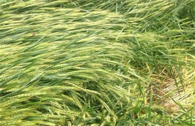 小麦倒伏的原因及挽救方法