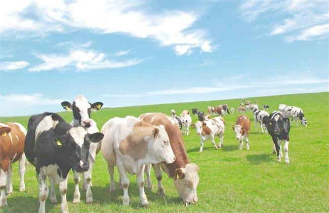 秋季养殖奶牛的管理方法
