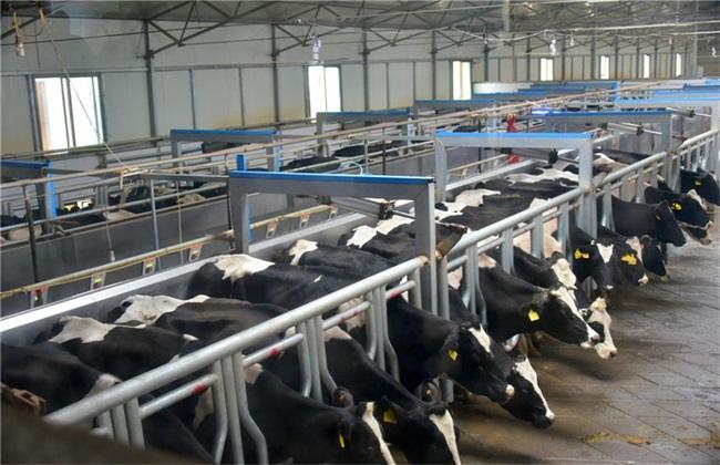 养殖奶牛 管理方法 秋季