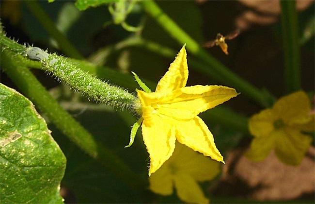 黄瓜 怎么办 开花不结果