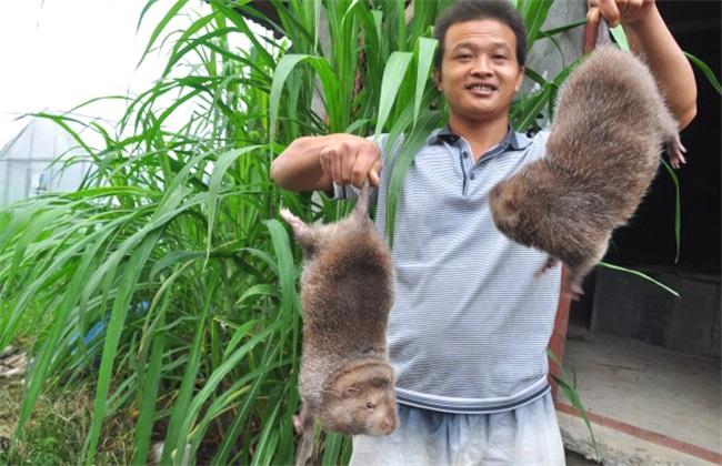 养殖竹鼠经常出现的问题