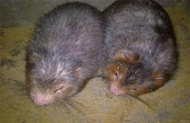 常见问题 养殖 竹鼠