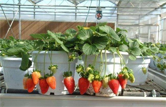 高产 草莓 栽培技术