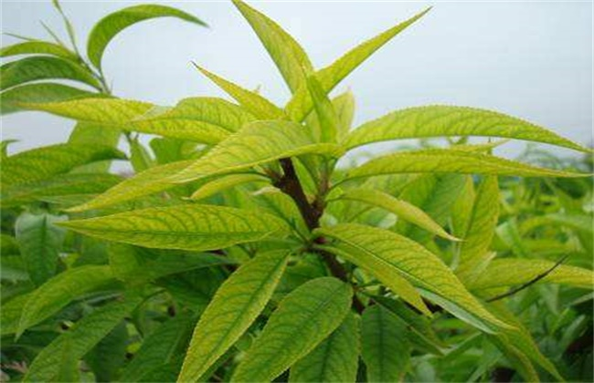 桃树常见病害症状及防治方法