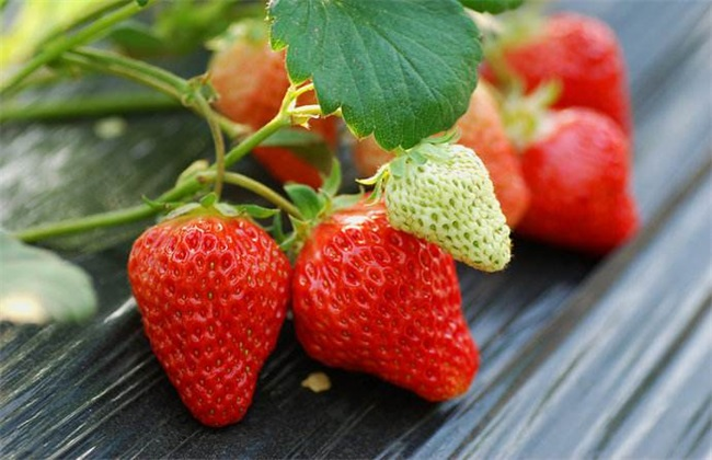 草莓常见病害及防治