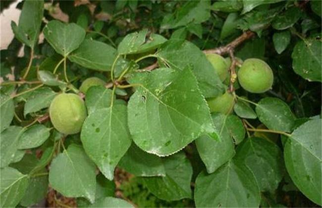 杏树坐果率低的原因及对策