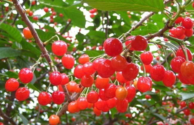 樱桃种植的日常管理