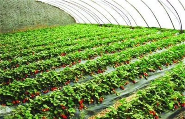 草莓种植方法