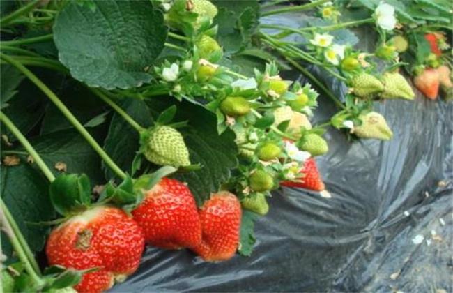 草莓苗批发价格