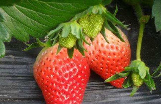 草莓种植时间