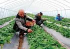 草莓高产栽培技术