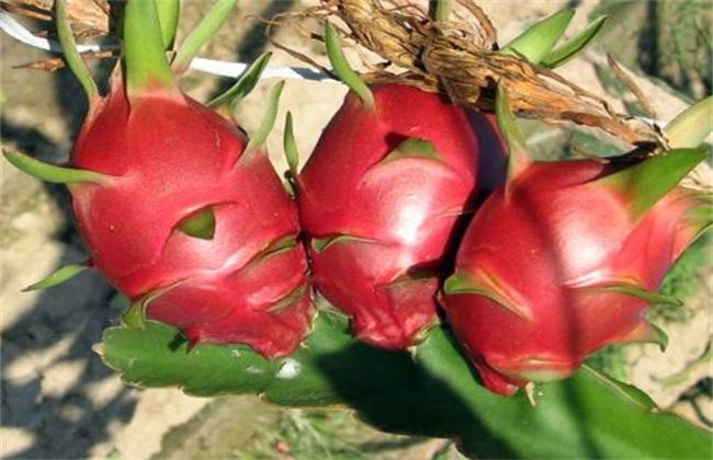 火龙果 条件 种植