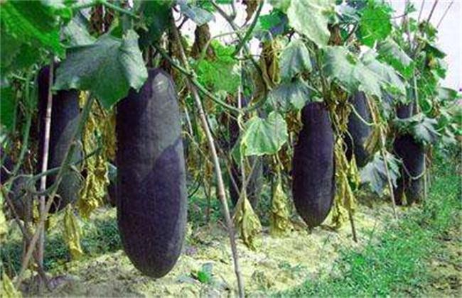 冬瓜裂瓜的原因及防治措施