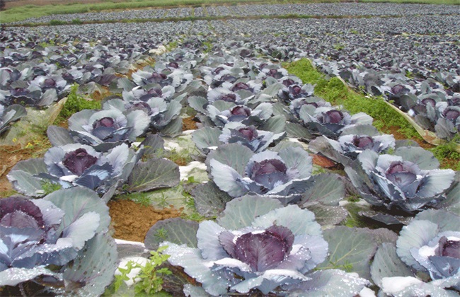 紫甘蓝怎么种