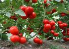 西红柿烂根怎么办