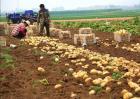 土豆膨大期时该如何管理
