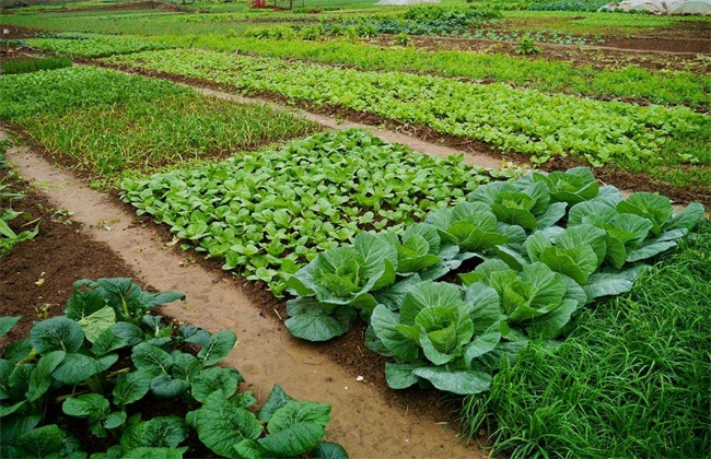 冬季适合种植什么蔬菜