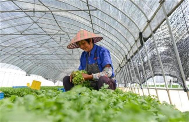 大棚香菜种植技术